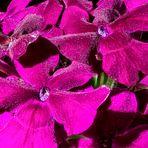 Violette Verbene