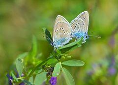 Violette Waldbläulinge