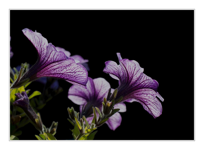 Violetten