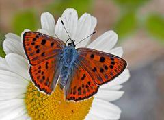 Violetter Feuerfalter (Lycaena alciphron gordius) - Le Cuivré flamboyant!