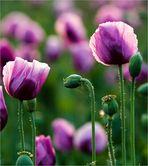 Violetter Mohn