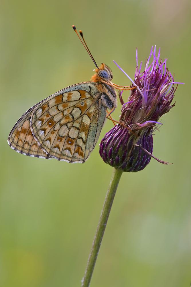 Violetter Silberfalter