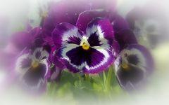 violettes bleues