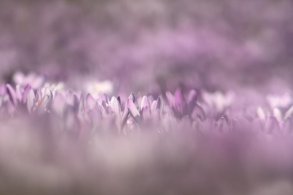 Violettes Blütenmeer