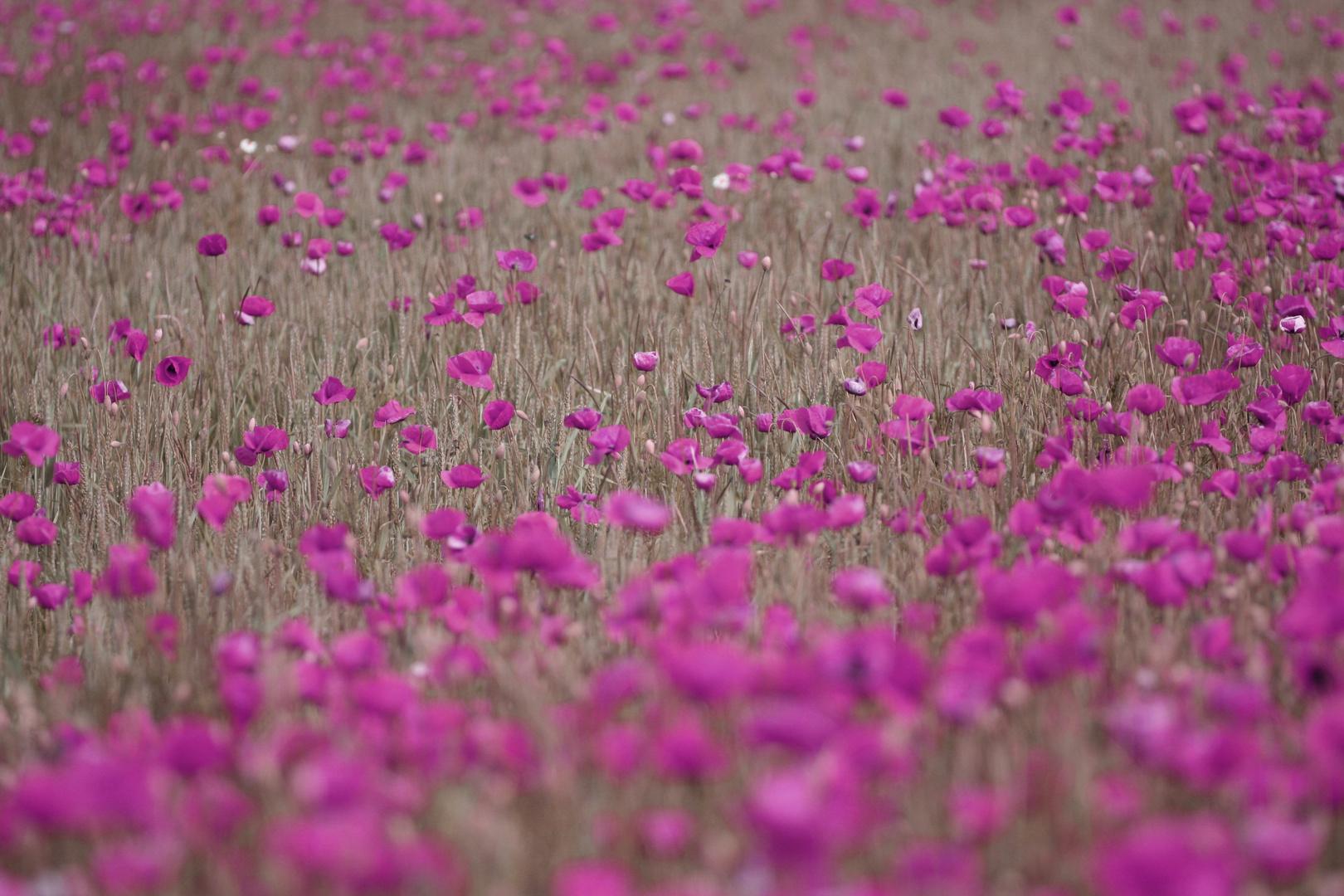 Violettes Mohnfeld