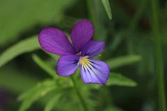 Violettes Veilchen