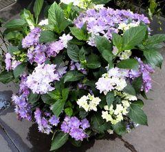 violette+weiße Blüten