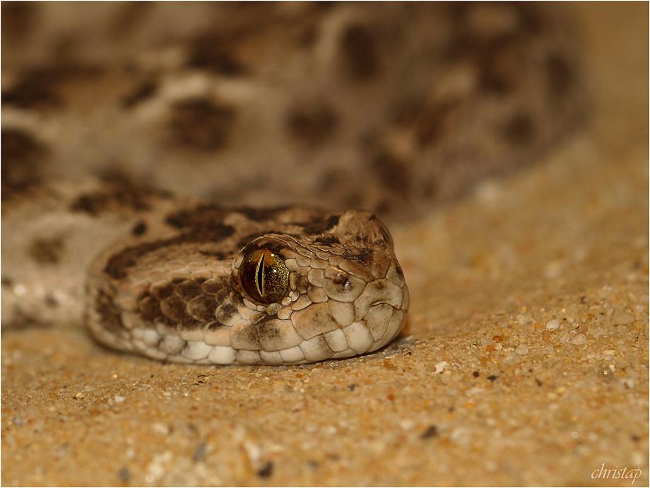 Viper I