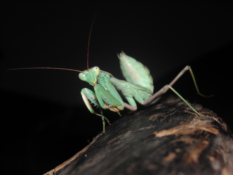 viridis mantis