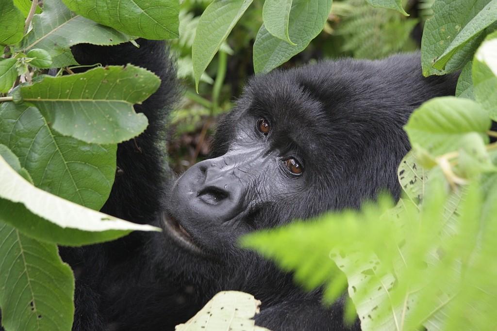 Virunga Berggorilla, Kongo