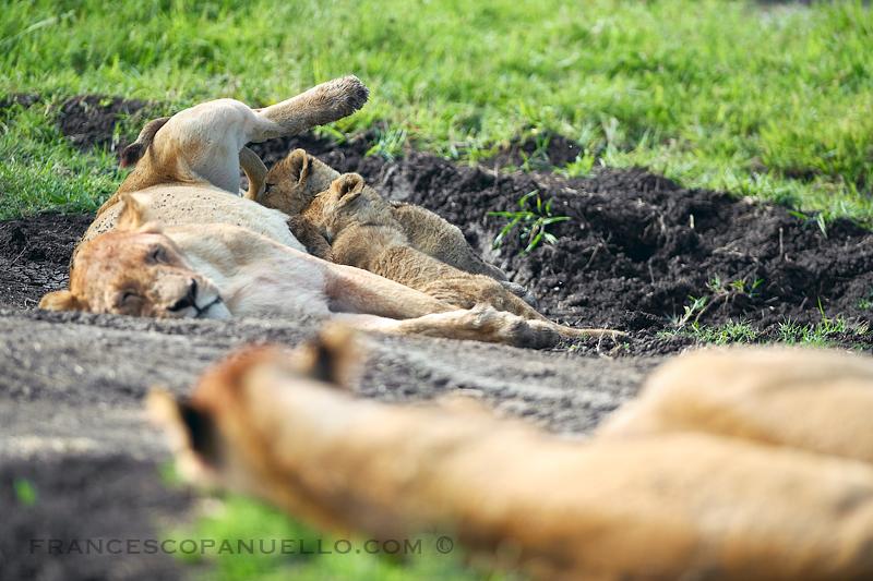 Vita da leonesse