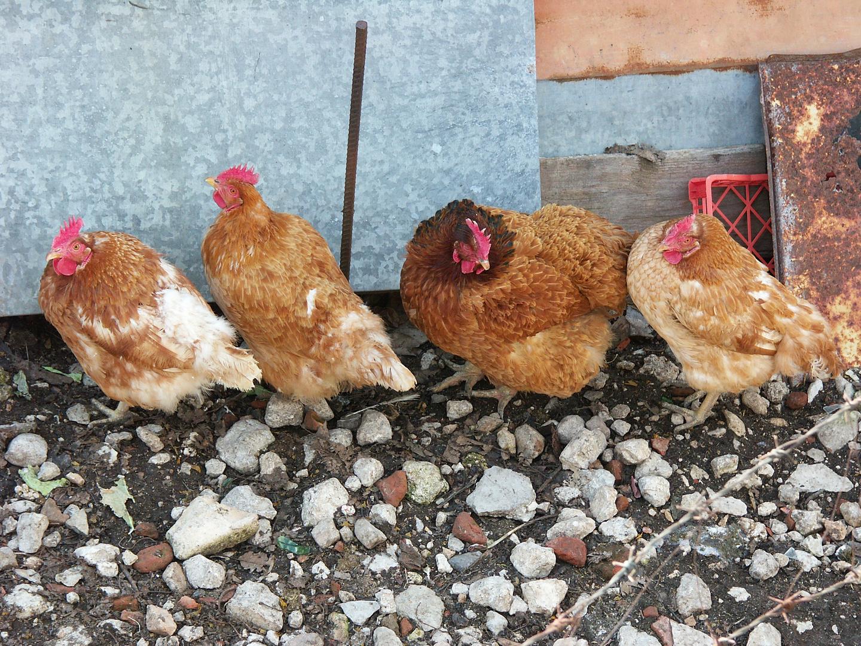 vita da polli
