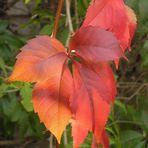 Vite rossa, autunno ai giardini di Bomarzo (VT)