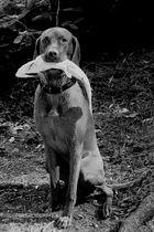 Vizla der Fischerhund