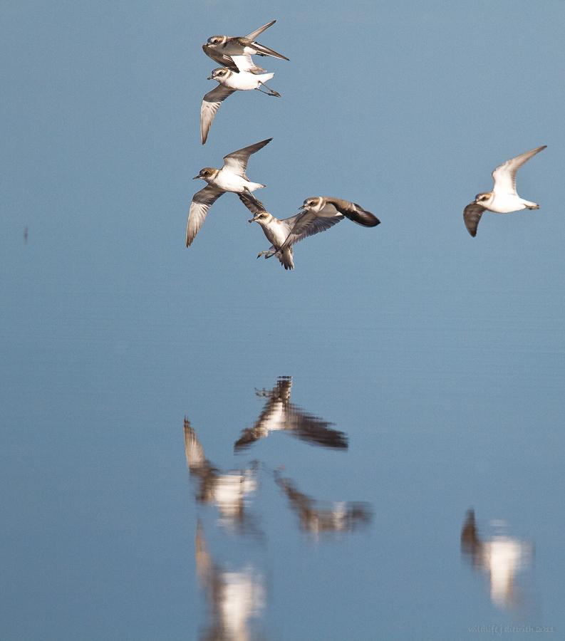 Vögel Blau - Weiß