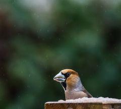 Vögel der Europäischen Heimat     II           .DSC_3438