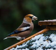 Vögel der Heimat      I    .,DSC_3443