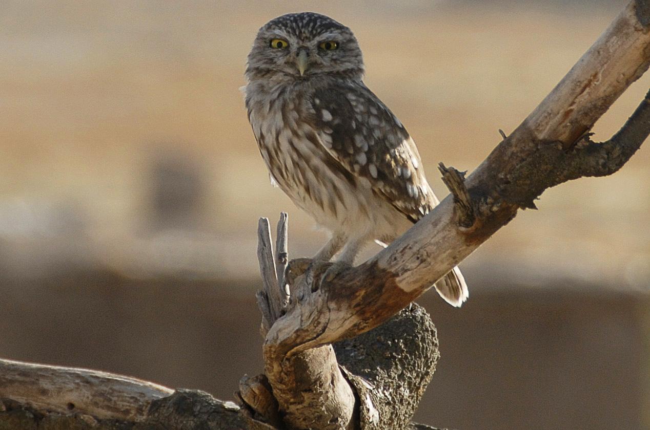 Vögel der Türkei ( Steinkauz )