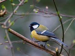 Vögel Europas.    .B0107826