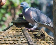 Vögel Europas.....DSC_2935