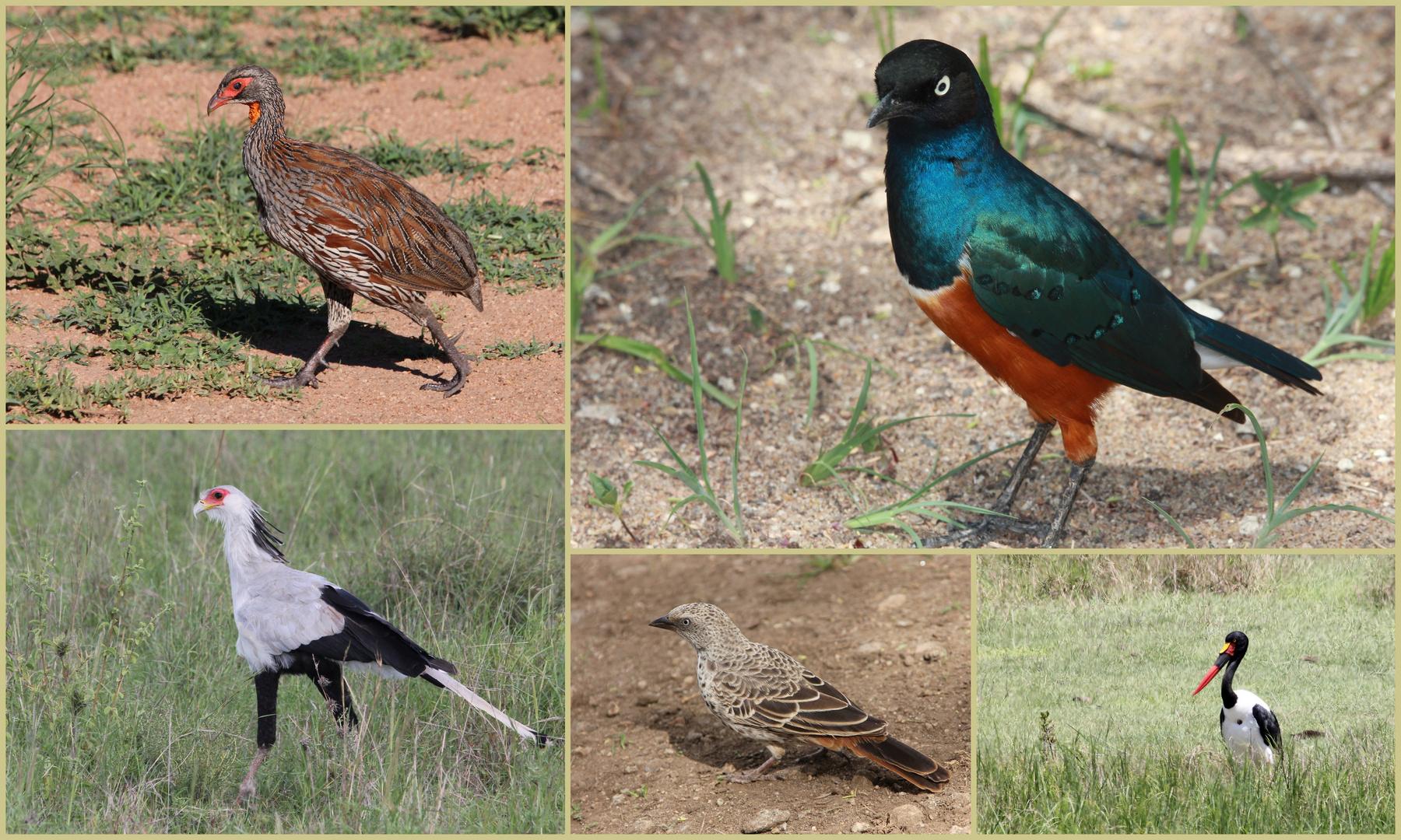 Vögel in Tansania