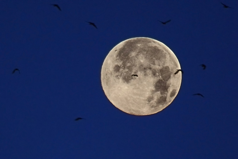 Vögel vor dem Mond