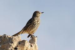 Vogel auf dem Felsen