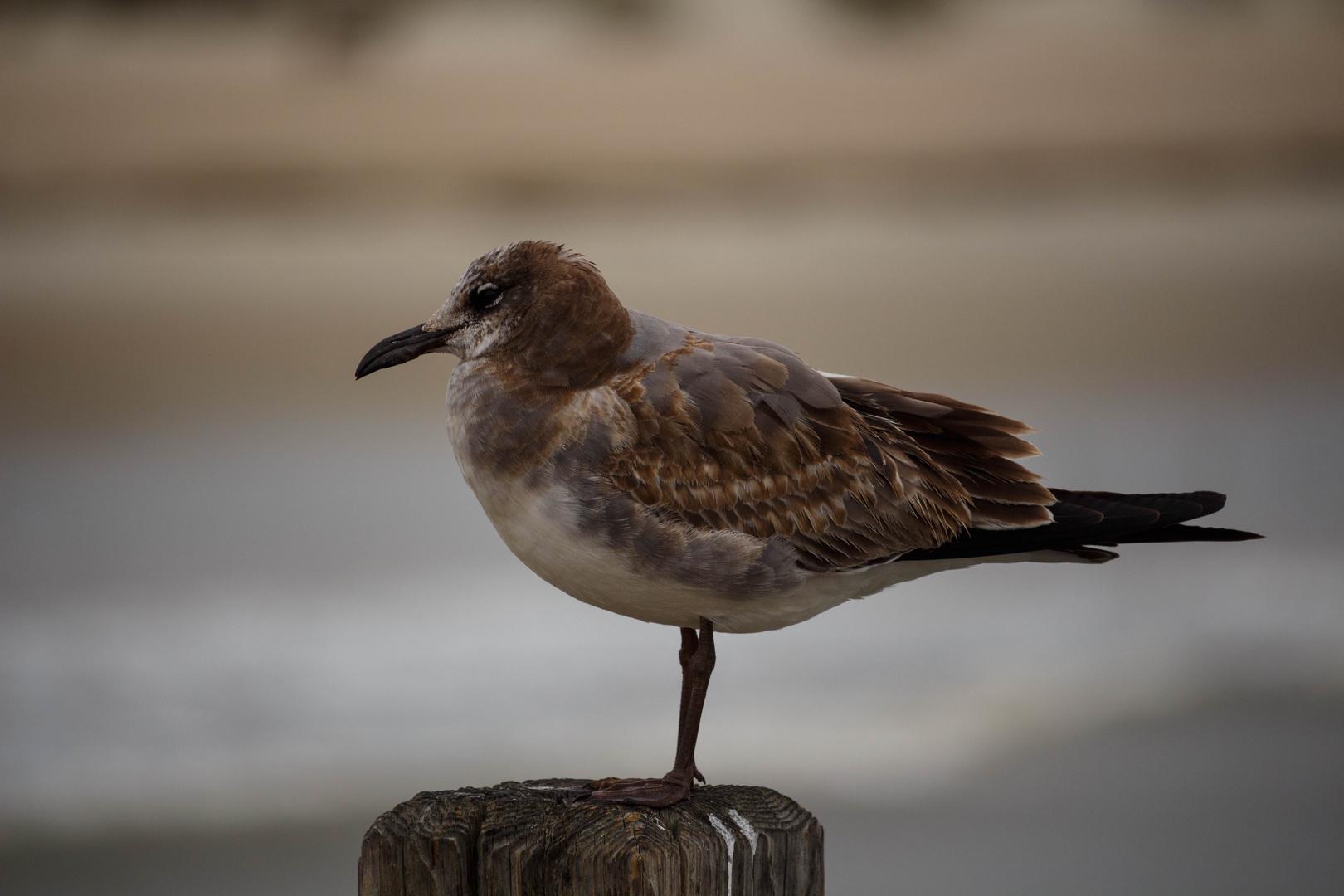 Vogel auf Tybee Island