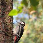 Vogel Buntspecht
