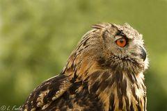 Vogel der Weisheit - Der Uhu