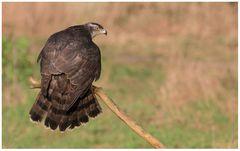 Vogel des Jahres 2015 - Der Habicht