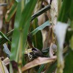 Vogel im Mais
