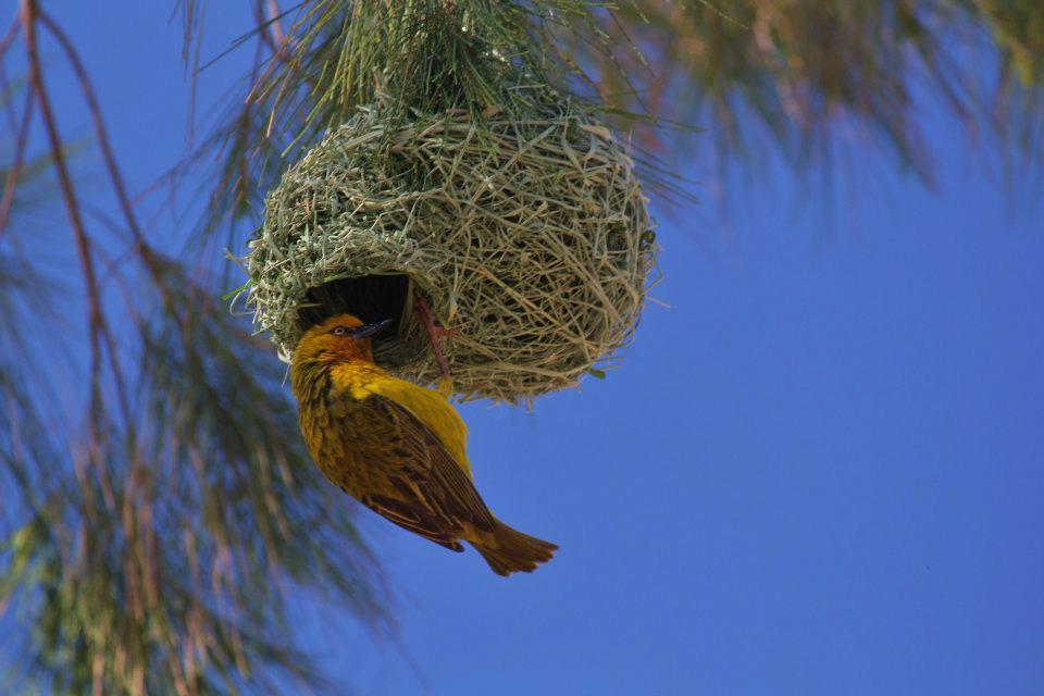Vogel in Springbok