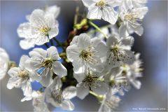 Vogel-Kirschblüte ..... oder der Mai ist gekommen
