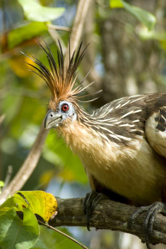 Vogel Mit Krone