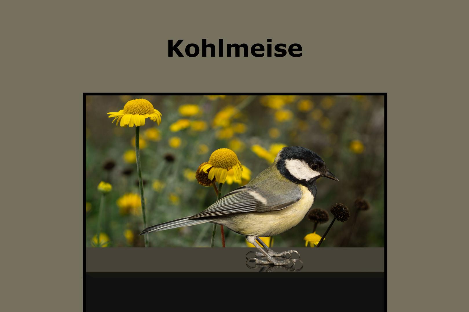 Vogel-Portrait. Kohlmaise.