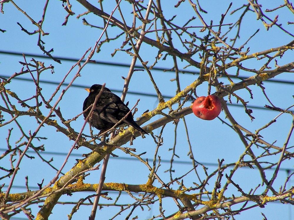 vogel und apfel