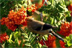 Vogelbeerenernte
