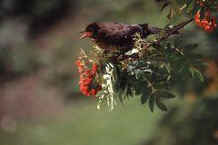 Vogelbeerenzeit