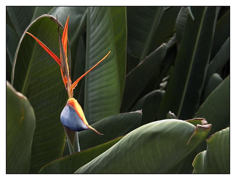 Vogelblume