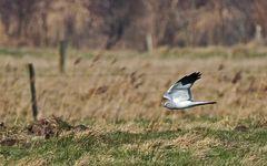 Vogeljagd über welligem Grünland