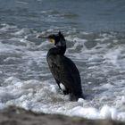 Vogelparadies Insel Hiddensee Kormoran