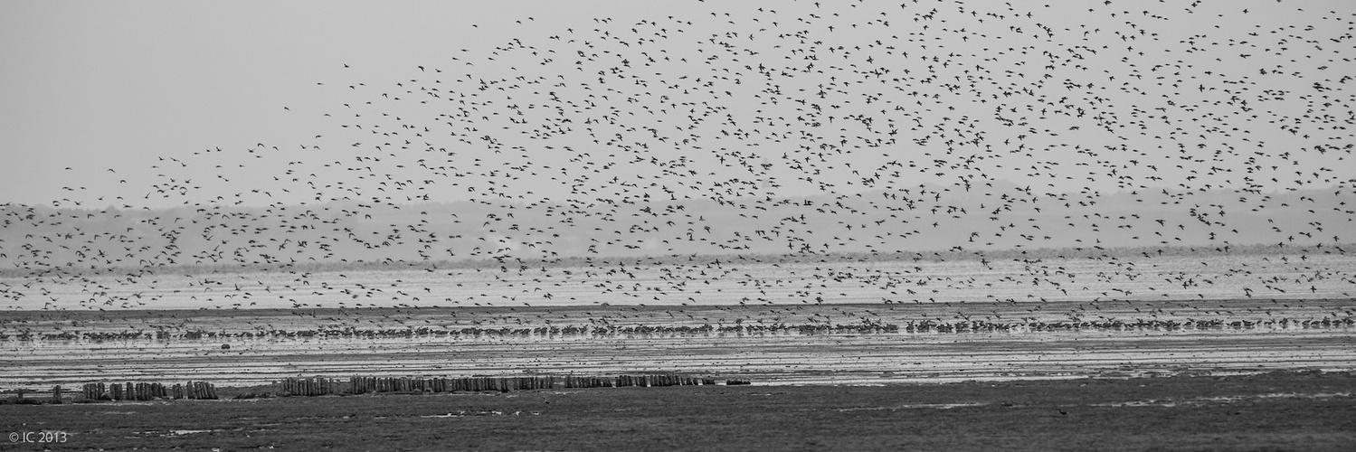 Vogelschwarm am Watt auf Sylt