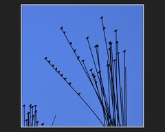 Vogelstrauch