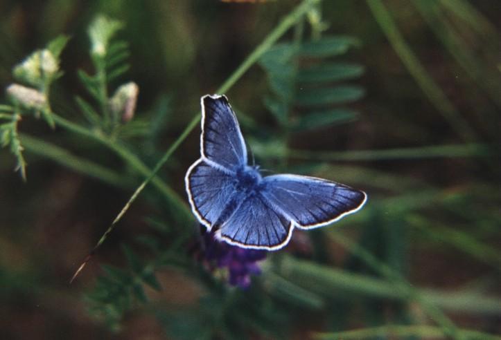 Vogelwicken-Bläuling - Polyommatus amandus