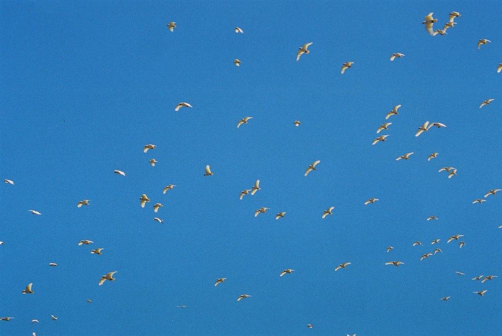 Vogelwolke in Australien