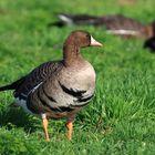 Vogelzug am Niederrhein / Blässgans