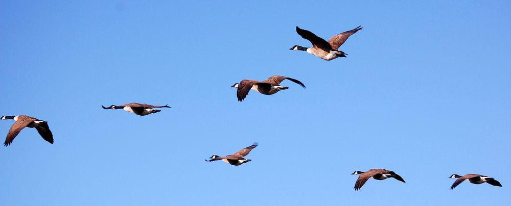 Vogelzug auf Hiddensee