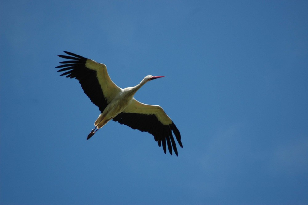 Vol de cigogne dans le ciel bleu