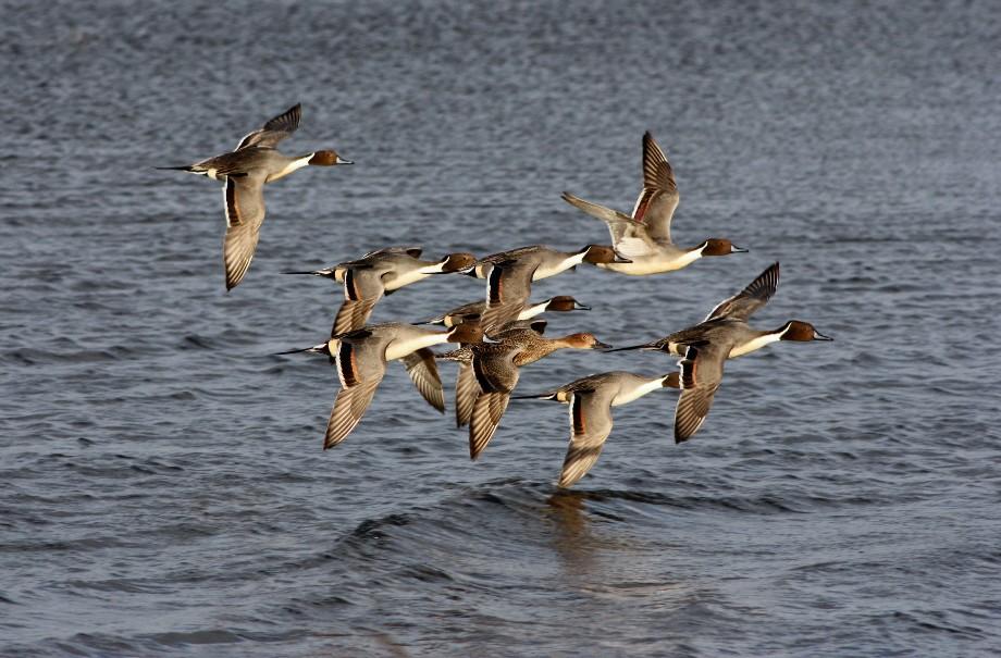 volée de canards pilets